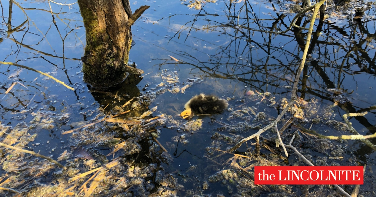 Warning of rescuing wild animals like nine ducklings killed in a tragic massacre