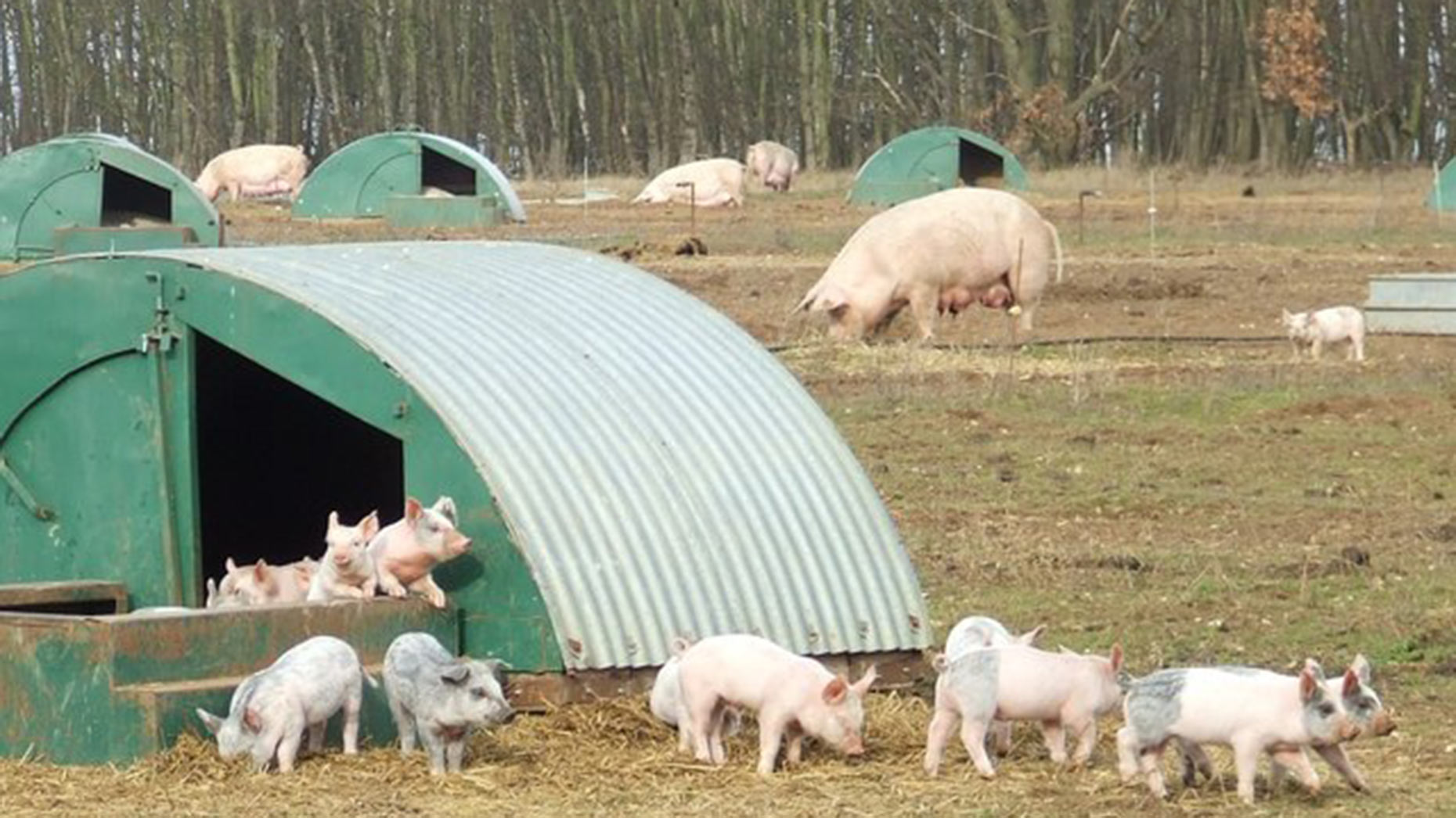 how to build a pig farm