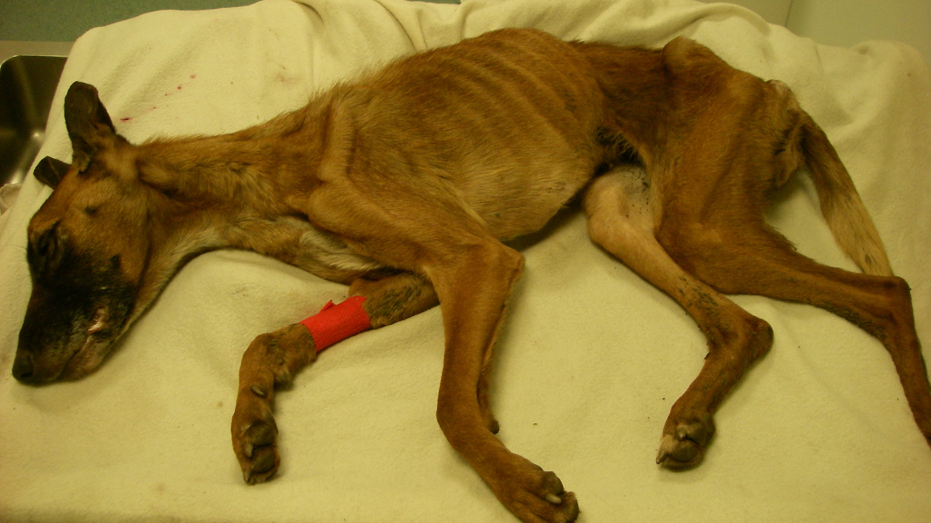 Queenie only weighted 7.5 kilos when she was put down. Photo: RSPCA